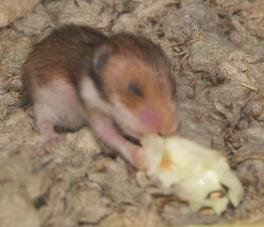 Hamster care